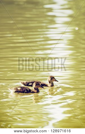 Two little Mallard ducklings - Anas platyrhynchos. Bird scene. Beauty in nature. Reflections in water. Young ones. Dabbling duck. Animal theme.