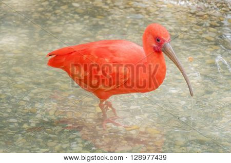 Eudocimus ruber Scarlet ibis, in the river