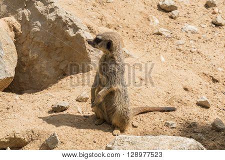 Suricata suricatta Meerkat, looking intently something interesting