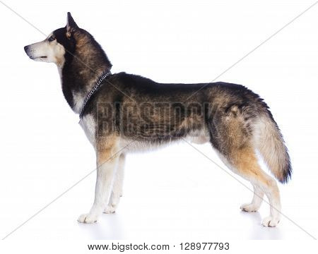 Siberian husky in studio on a white background