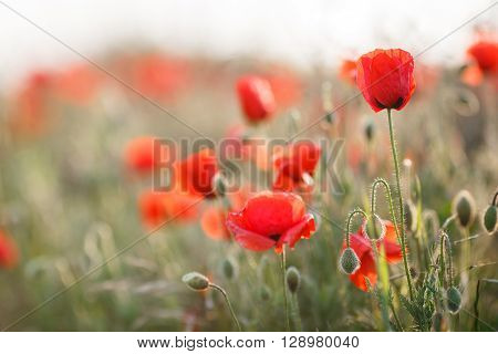 Bright red flowers of the wild poppy field on a summer green meadow, open with red petals and black center flowers on thin green stalks proudly look to the sky and not disclosed plump green buds with their heads down under the summer sky