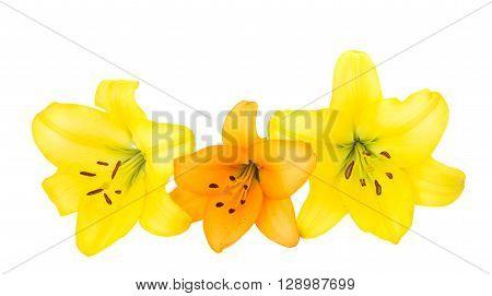 Beautiful orange lilies isolated on whiter, white, yellow