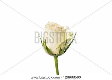 Slightly Faded White Rosebud On White