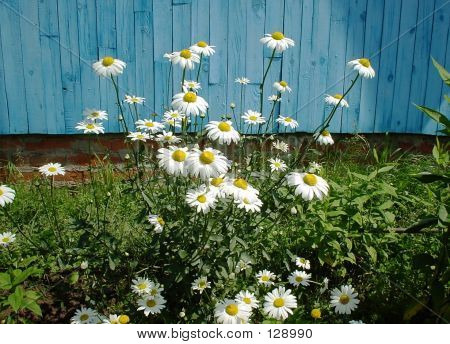 Daisies With Blue Background