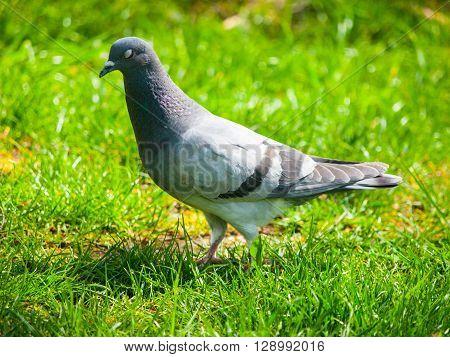 Feral pigeon, Columba livia domestica, walks in the grass