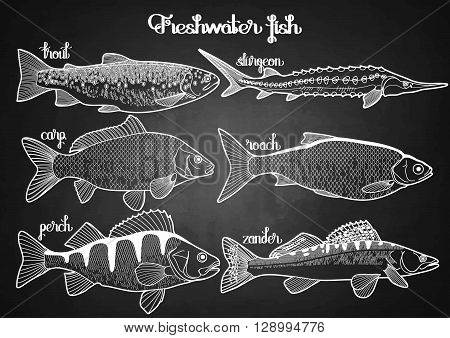 Graphic freshwater fish collection drawn in line art style. Sturgeon, roach, zander, trout, carp, perch for seafood menu. Freshwater creatures isolated on chalkboard
