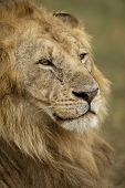 Close-up of Lion, Serengeti National Park, Serengeti, Tanzania, Africa poster