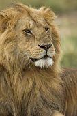 Close-up of Lion, Serengeti National Park, Serengeti, Tanzania, Africa poster