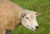 portrait of a female sheep in a field in spring. poster