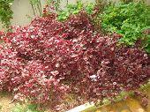 Iresine herbstii tropical plant heart hurt purple poster