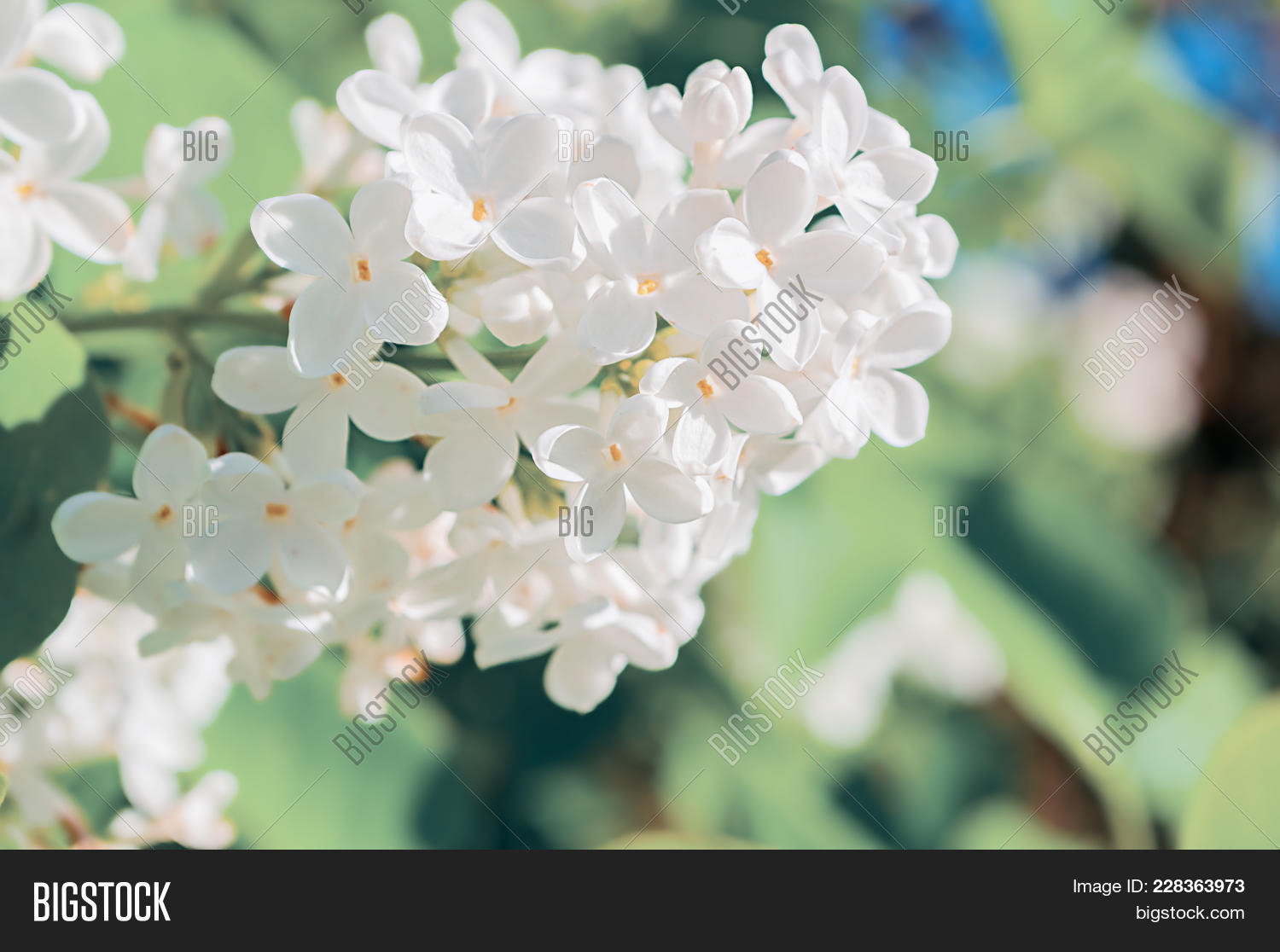Lilac Flowers Spring Image Photo Free Trial Bigstock