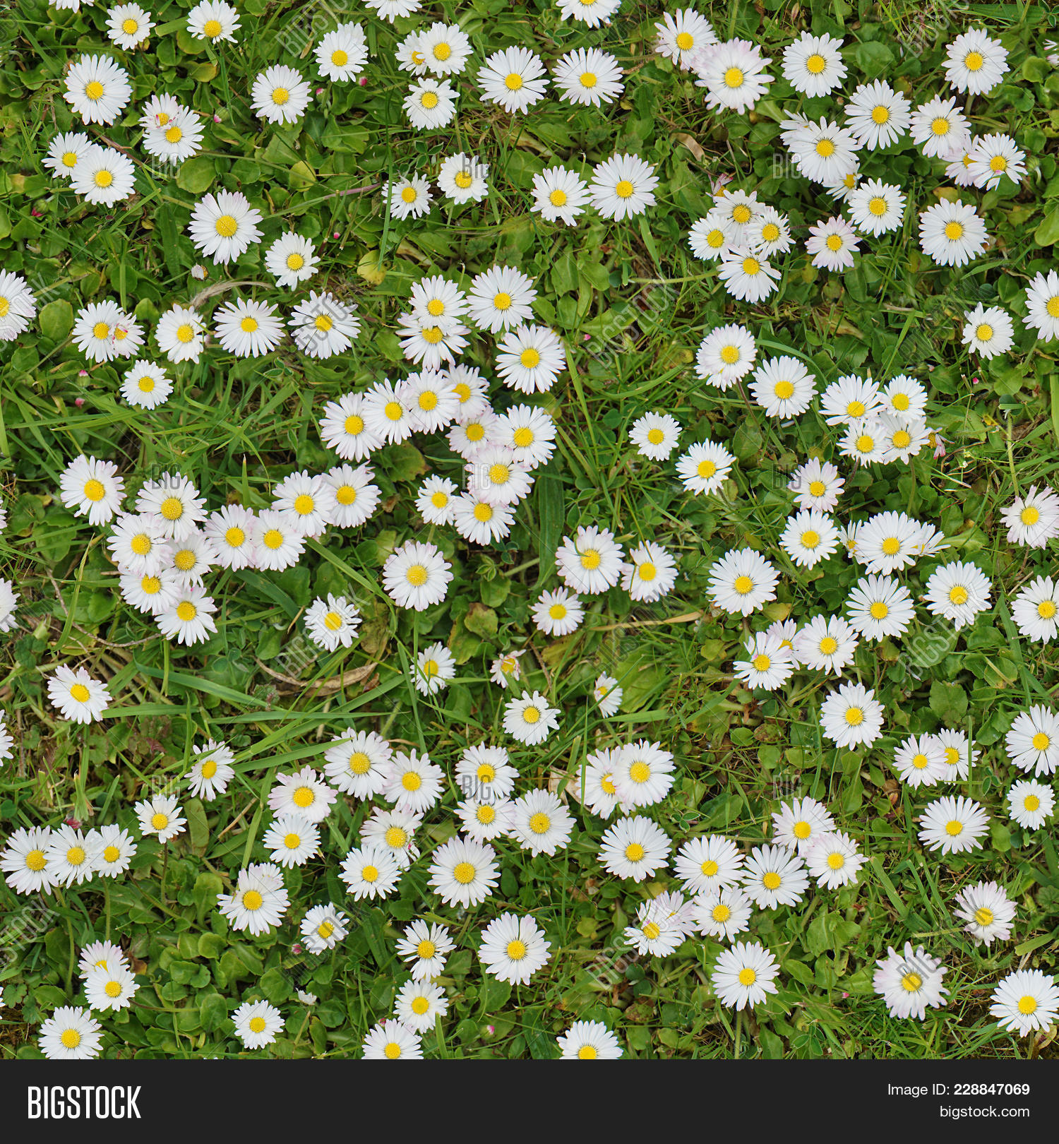 White Flowers On Lawn Image Photo Free Trial Bigstock