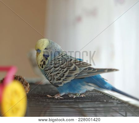 Budgerigar Cobalt Creamy Normal Walks On The Roof Of The Cage Standing In The Room
