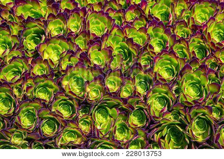 Houseleek Plant Background. Sempervivum Tectorum Nature Texture. Many Flowers Succulent Plant Backgr