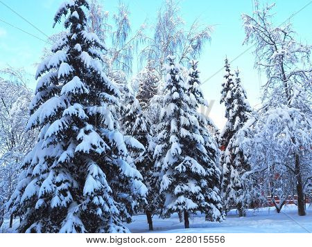 Snowy Trees And Pines Background With Blue Sky. Winter Forest Landscape With Snow