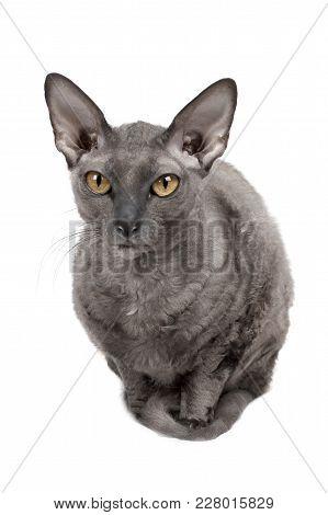 Oriental Shorthair Cat Sitting And Starring, Gray Animal Pet, Domestic Kitty, Purebred Cornish Rex.