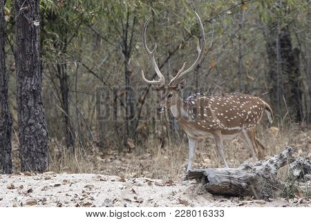 Adult Male Chital Or Spotted Deer Walking On The Edge Of The Forest On A Winter Day