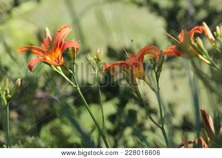 Orange Day Lilies (hemerocallis) Beside An Old Country Road. Day Lilies Are Rugged, Adaptable, Vigor