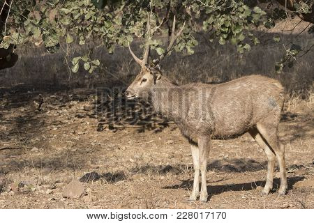 Male Zambara Who Stands On The Fringe In The Winter Indian Forest In The Sunlight