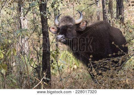Young Male Gaur Or Indian Bison Who Stands Among The Trees And Grazes In The Woods On A Winter Sunny