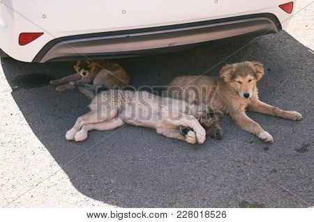 Dogs Lying On A Road Under The Car. Have A Rest, Family Dogs