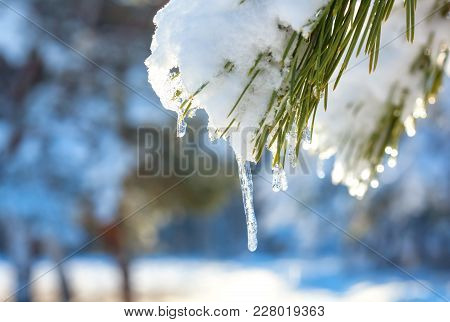 Icicles And Snow Melt On Pine Branches In The Forest.