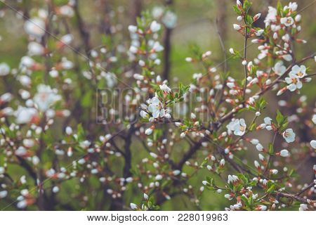Flowering Branch Of Cherry Blossom Against The Sky Background.