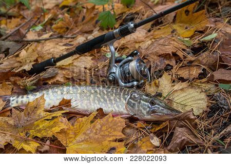 Freshwater Pike And Fishing Equipment Lies On Yellow Leaves..