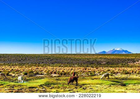 View On Llama And Volcano Lascar In The Altiplano Of Bolivia