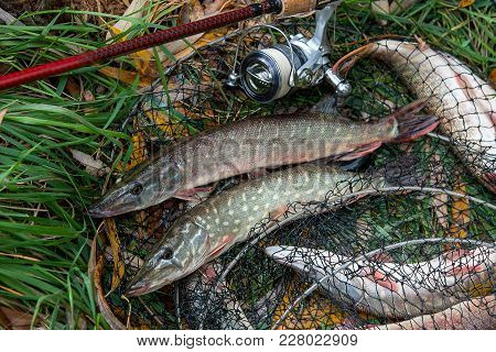 Close Up View Of Freshwater Pike Fish Lies On Landing Net With Fishery Catch In It And Fishing Rod W