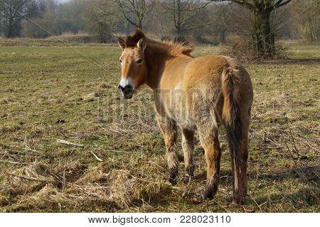 Brown Przewalski Horse In A Open Field.