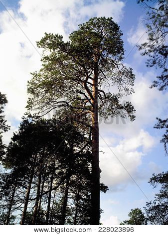 A Very High Pine-tree Grows Next To Pine-trees Lower On A Background Blue Sky With White Clouds