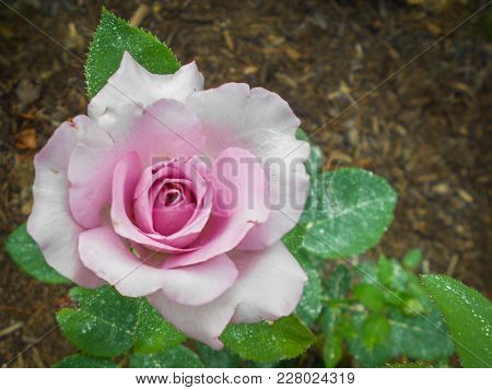You Can Almost Smell The Sweet Fragrance Of This Beautiful Single Purple Rose.