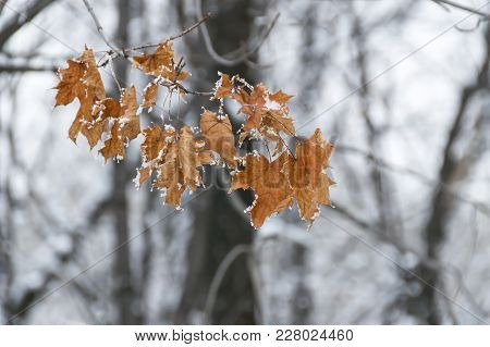 Autumn Leaves Of Maple, Left On A Tree Branch In Winter, On A Blurry Background Of Trees