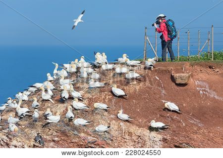 Helgoland, Germany - May 20, 2017: Woman Taking Pictures Of Brooding Northern Gannets At Red Cliffs