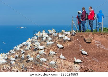 Helgoland, Germany - May 20, 2017: People Looking At Brooding Northern Gannets At Red Cliffs Of Helg