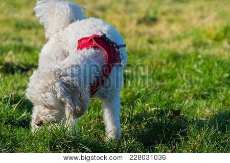 Cute Dog Walking And Playing On The Grass In The Park.