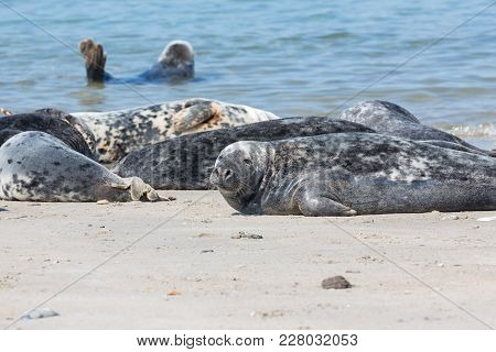 Grey Seals Resting At The Beach Of Helgoland, Germany