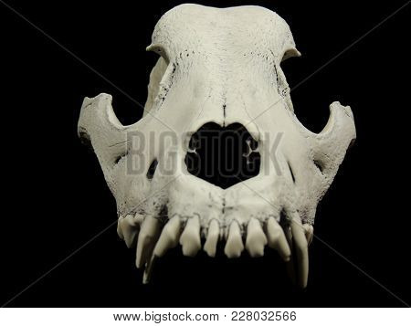 Front Shot Of The Animal Skull Without Lower Jaw