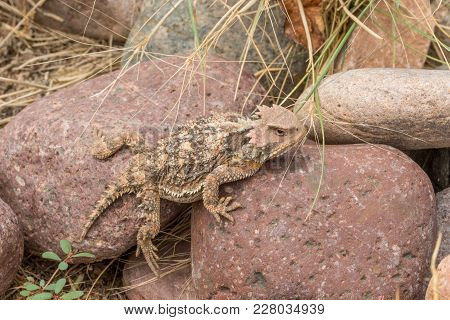 A Unique Looking Arizona Horned Toad Lizard