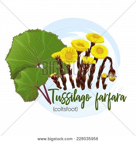 Medicinal Plant Coltsfoot For Labels, Banners, Posters And Other. You Can Also Use In The Design Of