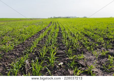 Young Wheat Crop In A Field. Crops Of Winter Wheat , Fall Wheat, White Wheat In The Spring. Rows Of