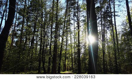 High Trees In Wild Forest At Sunny Day. Beautiful Forest.