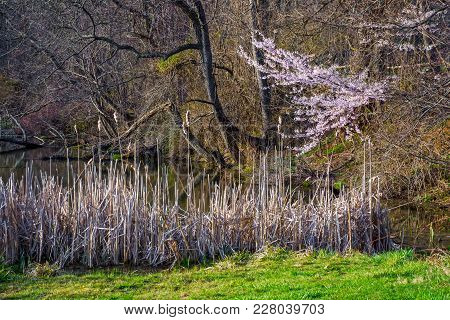 A Cherry Blossom Tree Stands Out In This Wetland Area Of Holmdel Park On An Early Spring Day.