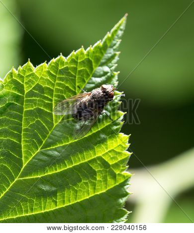 Fly On Green Leaf In Nature. Marco .