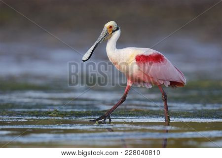 Roseate Spoonbill (platalea Ajaja) Wading In A Shallow Lagoon - Pinellas County, Florida