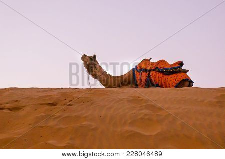 Camel Sitting On Top Of The Sand Dunes. Sum Is A Popular Tourist Destination Withe Multiple Cames Ar