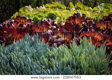 Rows Of Colorful Succulent Plants On Display In A Garden Shop, Used For Ornamental Plantings For Dro