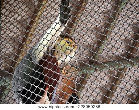 Red-shanked Douc Or Pygathrix Nemaeus In The Cage