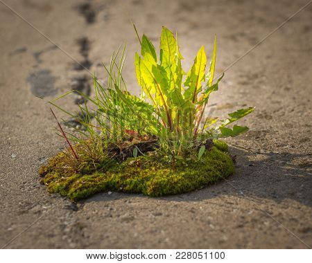 Dandelion Leaves. Sprout Growth On On Asphalt As A Concept Of Support Building A Future, New Develop